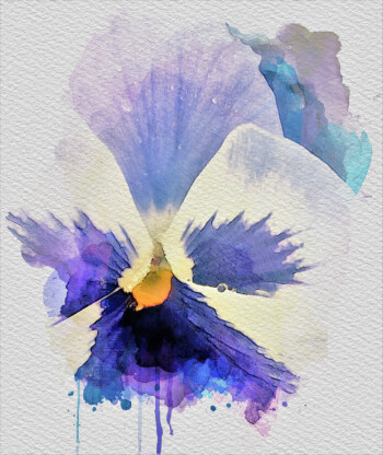 Purple Pansy Watercolour